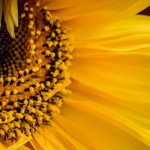 sunflower-4415802